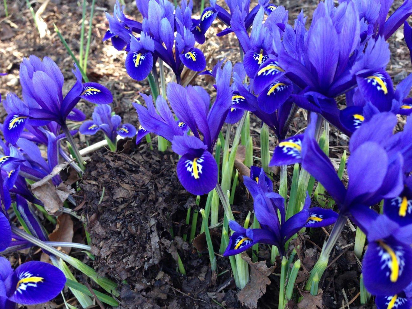 A growing garden of blooming purple iris